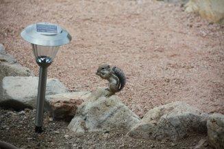 Harris' Antelope Squirrel Eating on Rock Ammospermophilus harrisii