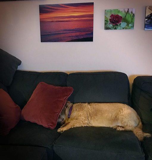 dog under a pillow