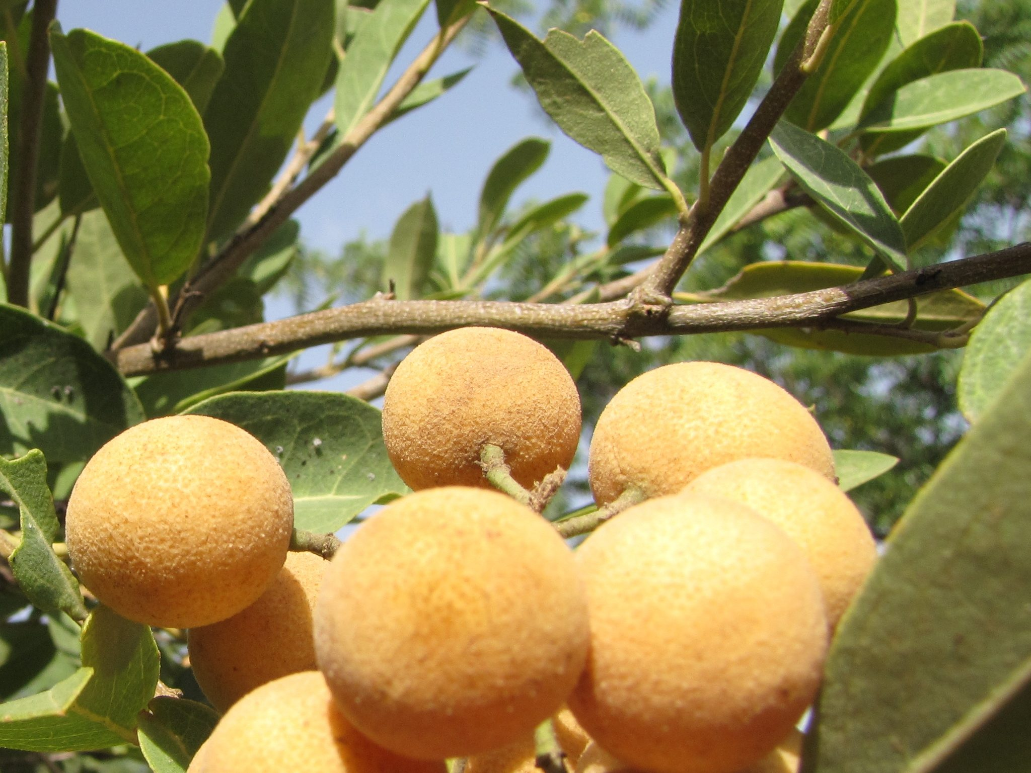 Hanza_fruits_and_leaves_Zinder_Republic_of_Niger