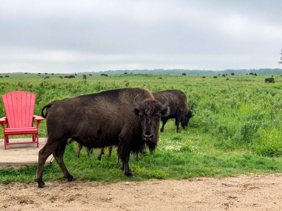 Elk Island Bison: 3ten.ca