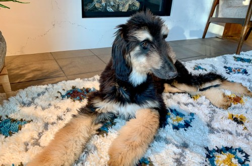 Daphne the Afghan Hound: 3ten.ca