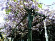 Wisteria flows over the front yard of a house behind the Topkapi Palace, Istanbul