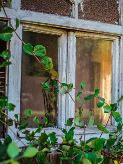 Alte Fenster mit grünen Pflanzen vor dem Glas