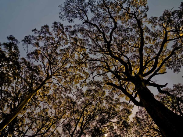 forest canopy at sunset