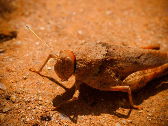 large grasshopper