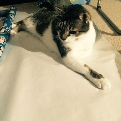 Spam's letting me know how he feels about my severely late Christmas wrapping.