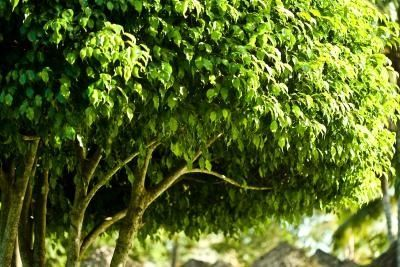 Image Result For Ficus Tree Sap Allergy