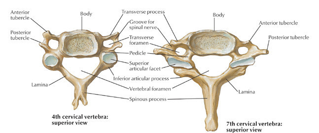 typical cervical vertebrae and c7 – the art of medicine, Human Body
