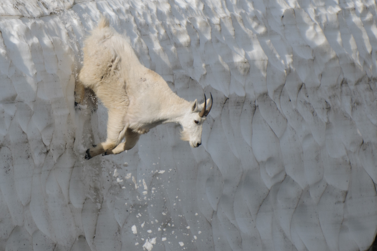 Mountain goat (Oreamnos americanus) photographed by Jeff Wendorff in Glacier National Park, Montana, USA.