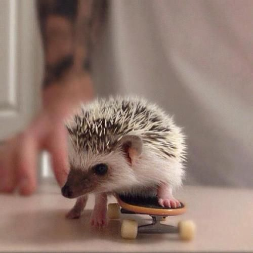 A tiny hedgehog is seen riding a miniature skateboard