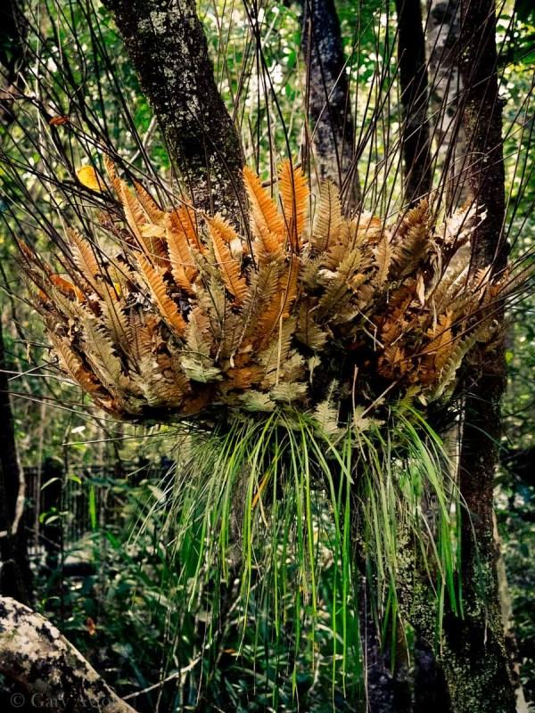 aerial fern