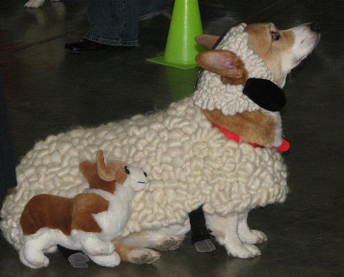 Corgi dressed as a sheep with stuffed Corgi dog.