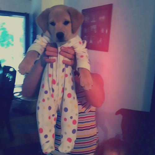 French Bulldog Puppies Pajamas