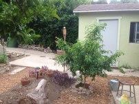 a new stone fruit tree