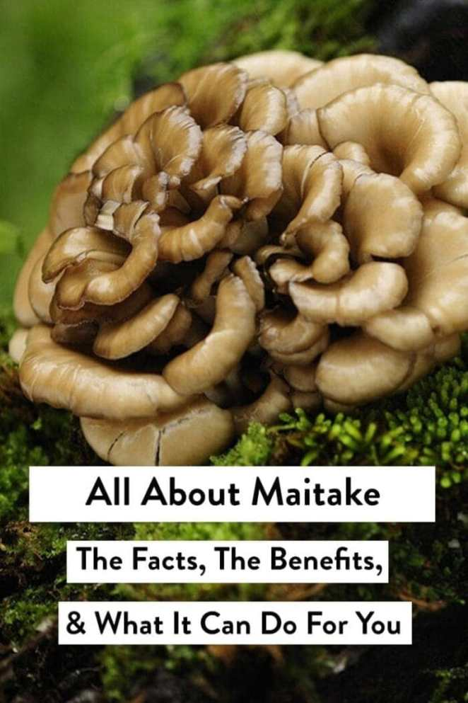 All about maitake