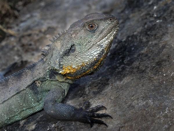 the obstinate lizard