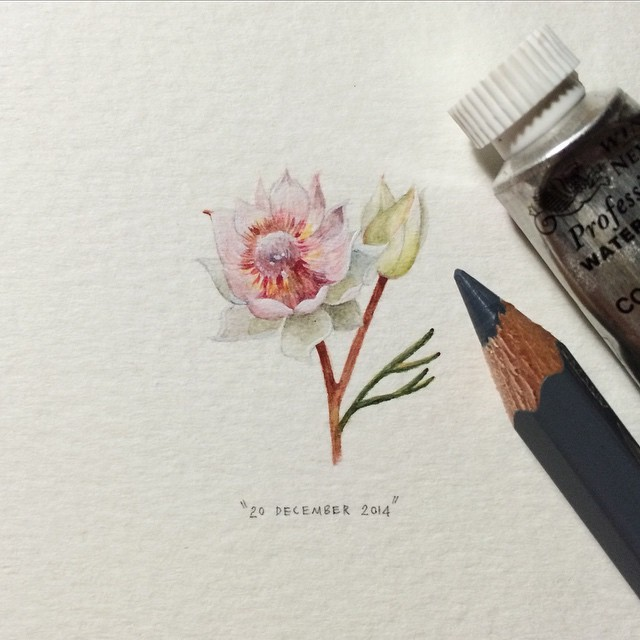 Day 354 : Blushing bride | Pride of Franschhoek | Serruria florida. 28 x 22 mm. 👰 #365postcardsforants #miniature #watercolour #painting #blushingbride #protea #flower #capetown (at Table Mountain National Park)