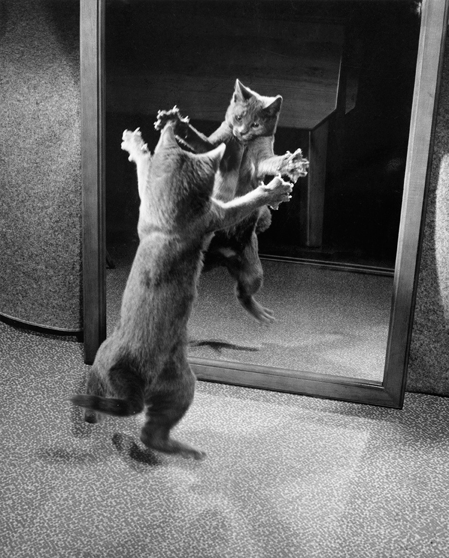 With claws bared, a kitten attacks its own mirrored reflection, 1964. Photograph by Walter Chandoha, National Geographic Creative