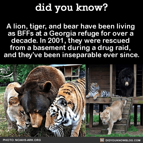 A lion, tiger, and bear have been living as BFFs at a Georgia refuge for over a decade. In 2001, they were rescued from a basement during a drug raid, and they've been inseparable ever since. Source
