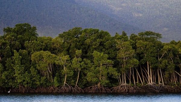 mangroves Cairns