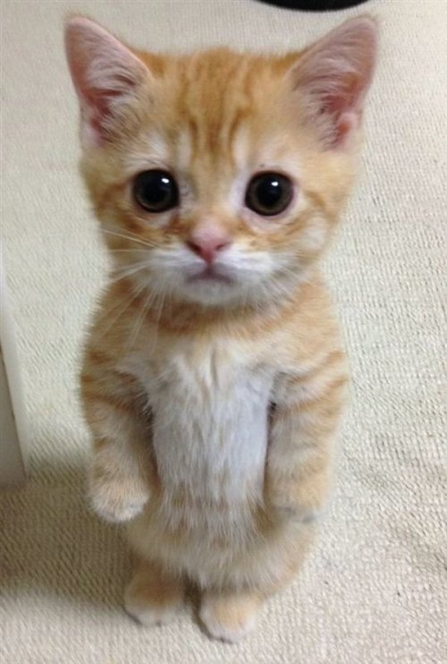 """Image result for kittens standing up stright"""""""