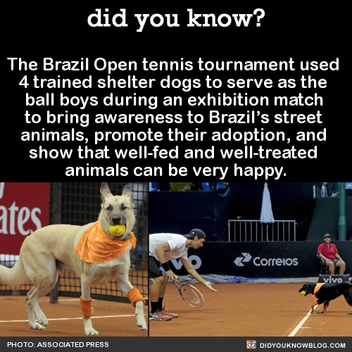 The Brazil Open tennis tournament used 4 trained shelter dogs to serve as the ball boys during an exhibition match to bring awareness to Brazil's street animals, promote their adoption, and show that well-fed and well-treated animals can be very happy. Source Source 2Photos: Associated Press