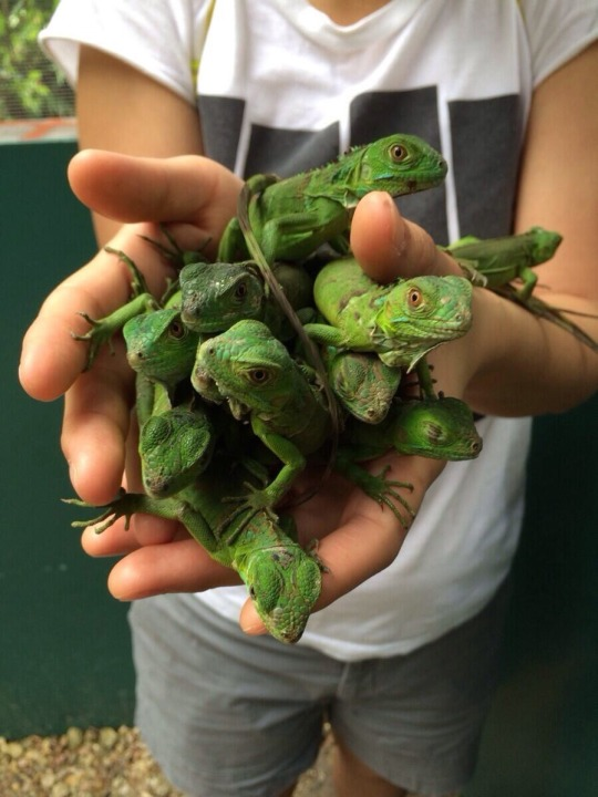 A person holding several baby iguanas in their cupped hands, offering them towards the camera.