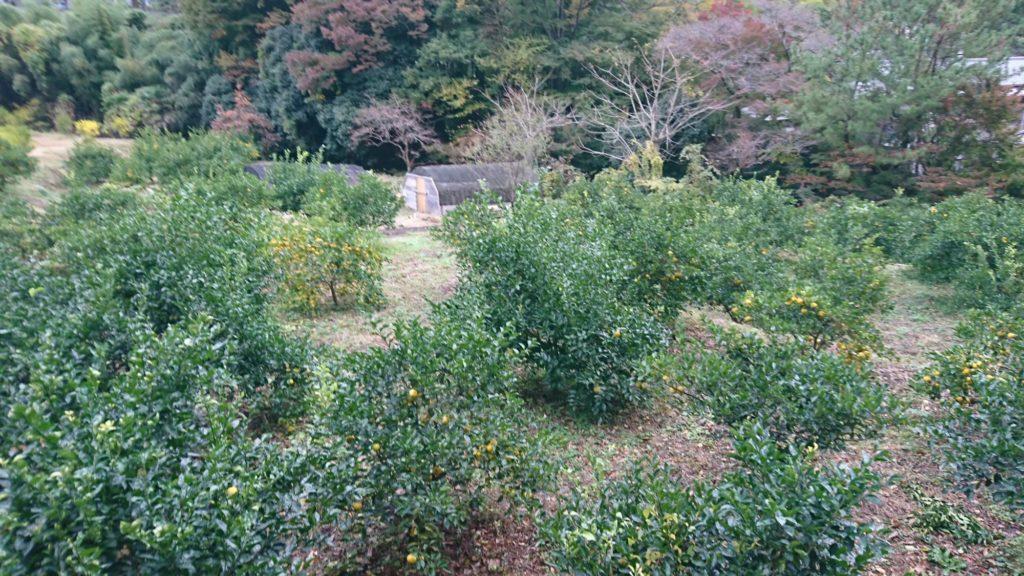 静岡を懐かしく感じられるようないかん畑
