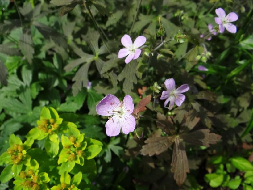 Géranium vivace maculatum Espresso