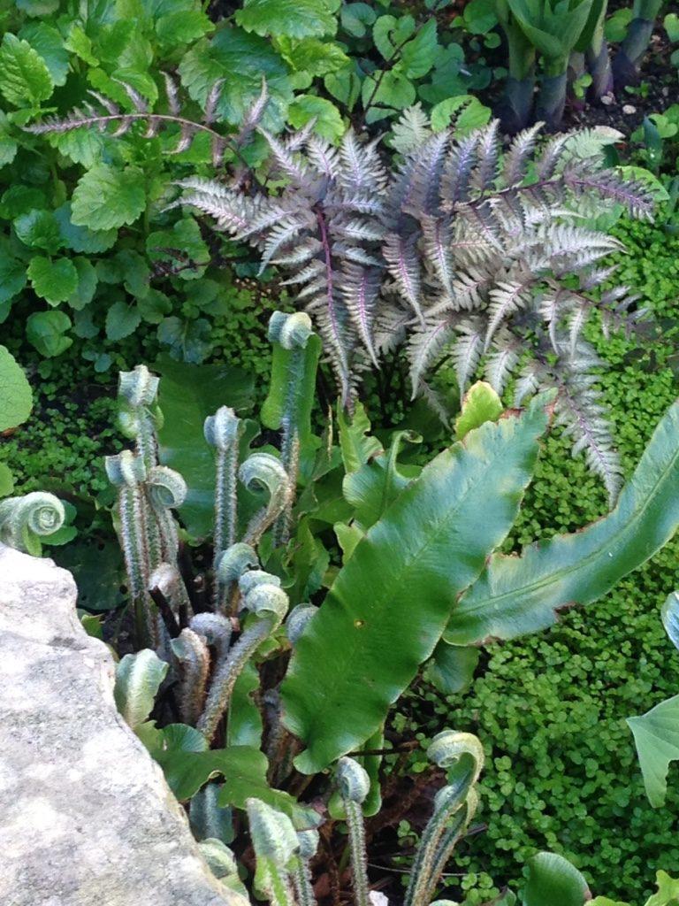 Fougère Athyrium metallicum et Asplenium scolopendrium