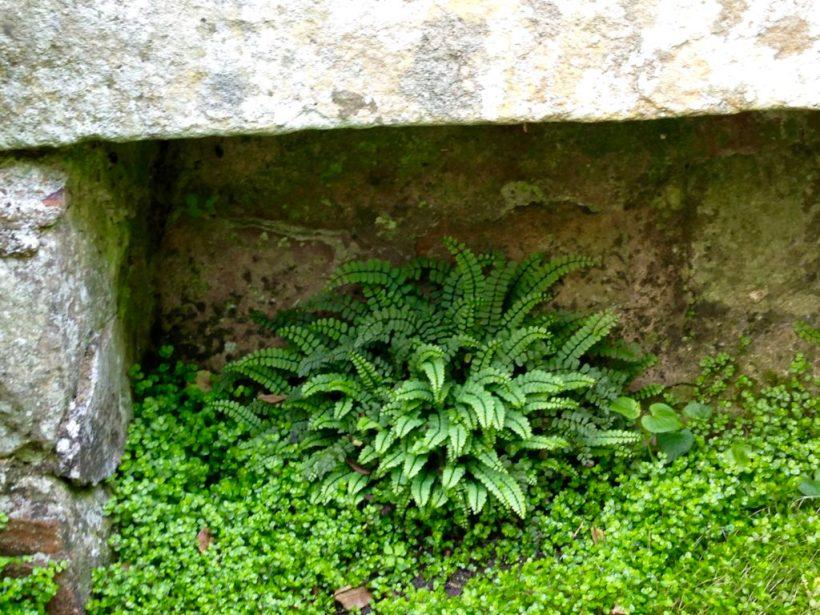 Fougère Asplenium Trichomanes et couvre sol Helxine soleirolii