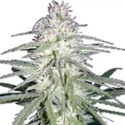 Destroyer Marijuana Strain Review
