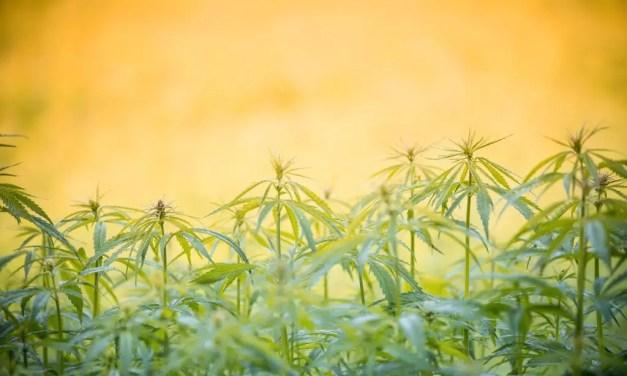 The Benefits of Growing Organic Weed