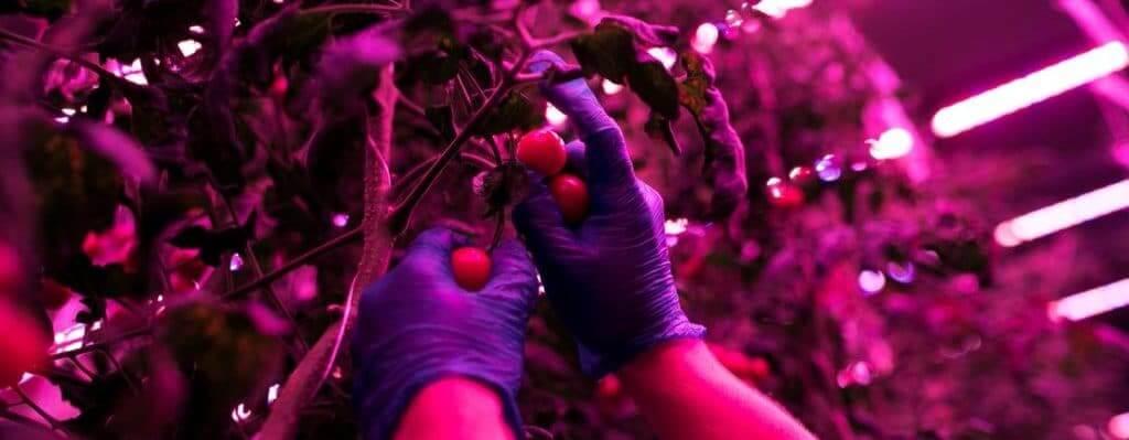Tomato plants and LED Grow Lights