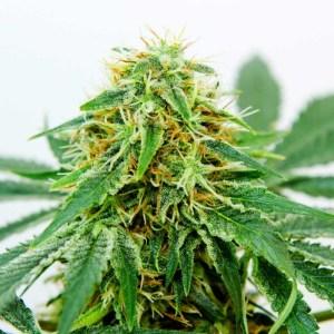 25% Off Northern Light X Shiva Fem Seeds High Supplies Voucher