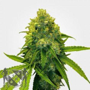 Green Crack Cannabis MSNL discount
