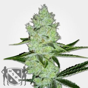 Jack Herer Cannabis Seeds MSNL Promo Discount
