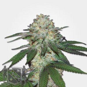 Mango Autofem Cannabis Seeds MSNL Coupon Code