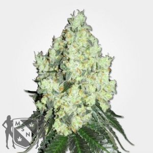 OG Kush Feminized Cannabis Seeds MSNL Coupon Code