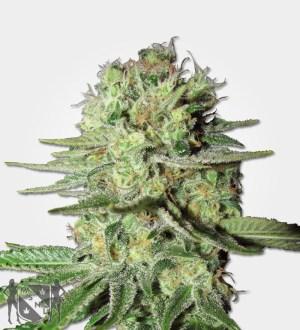 Durban Poison Fem Marijuana MSNL Coupon Code