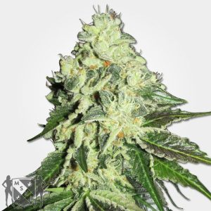Nitro Lemon Haze Cannabis MSNL Discount Sale