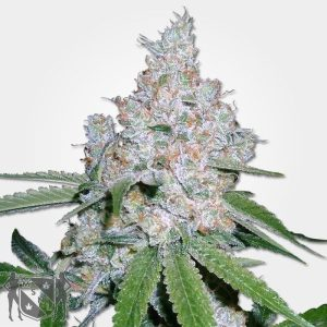 Power Plant Cannabis Seeds MSNL Promo
