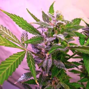 Blue Mystic Cannabis Nrivana Shop Coupon Code