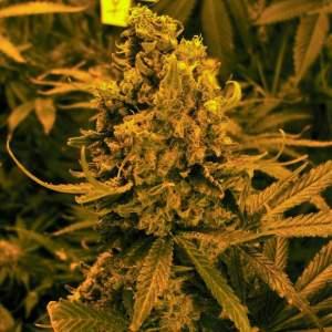 Nirvana Shop BlueBerry Kush Auto Marijuana Seed Promo