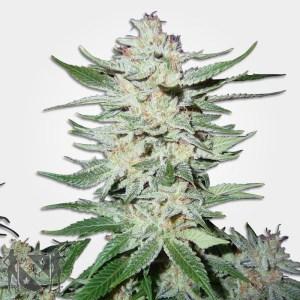 White Rhino Marijuana Seeds MSNL Coupon Code