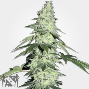 Pure Power Plant Cannabis Seeds MSNL Discount