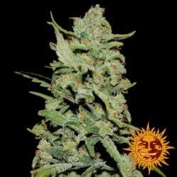Peyote Critical Fem Cannabis Seedsman Promotion