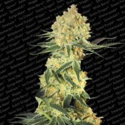 Auto Wappa Marijuana Paradise Seeds Discount Code