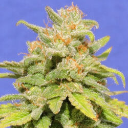 Free White Crystal Meth Cannabis Seeds Original Seeds Store Sale Promotion