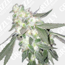Fruit Tree Fem Grizzly Seed Bank Coupon Code
